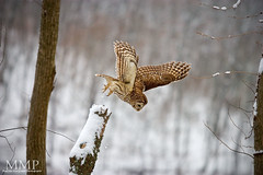 Barred Owl Diving (Malcolm MacGregor) Tags: lake snow bird flying hunting flight owl prey barred radnor strix varia