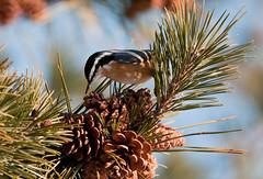 Foraging (martytdx) Tags: male birds january nj nuthatch sittacanadensis longbranch sevenpresidentspark redbreastednuthatch coldashell sitta sittidae