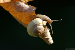 Catching Some Rays (Vie Lipowski) Tags: nature snail mapleleaf detritivore