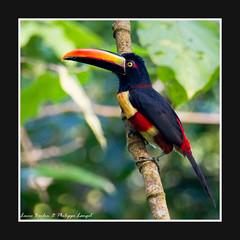 El Tucan - Osa Peninsula - Costa Rica (Lucie et Philippe) Tags: voyage trip travel america toucan costarica central centrale tucan osapeninsula amrique suitallodge