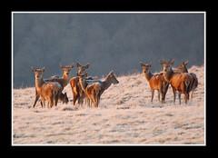 Oh deer...... (Levels Nature) Tags: uk red england colour nature animal animals watching ears deer devon moors moor herd reddeer lynmouth moorland exmoor northdevon countisbury saariysqualitypictures