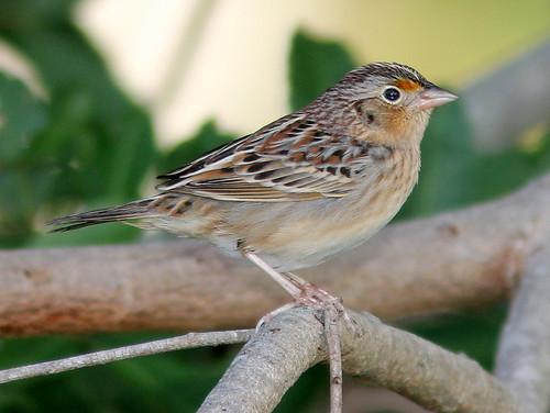 Grasshopper Sparrow 2-20110201