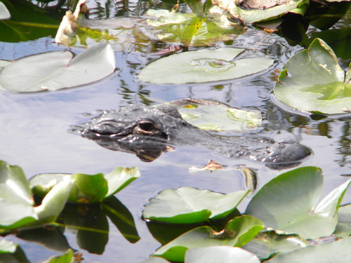 Everglades Alligators-4