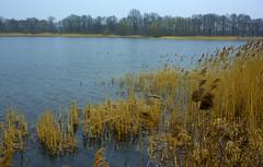Trzciny przybrzene (Hejma (+/- 4400 faves and 1,4 milion views)) Tags: trees water cane landscape spring pond poland polska woda wiosna staw drzewa trzciny krajobraz dolinabaryczy