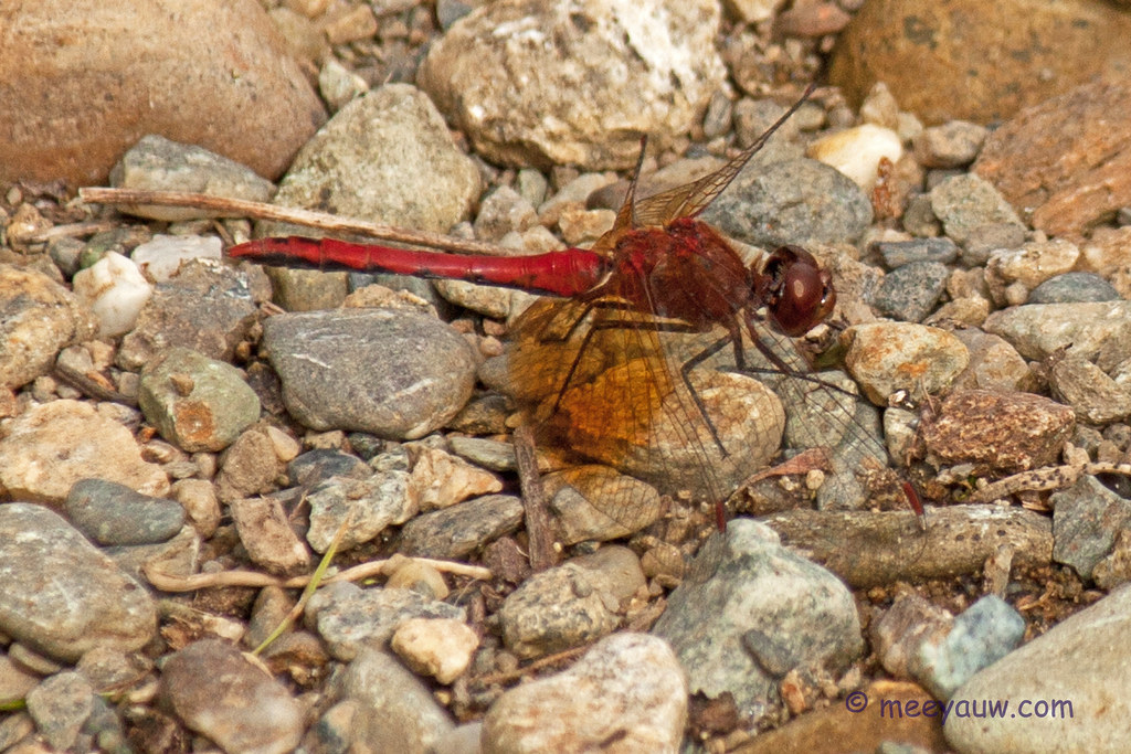 Saffron-winged Meadowhawk17.jpg