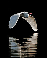 wings on the water (PamLink) Tags: blackandwhite reflection bird water wings flight feathers ripples egret greategret
