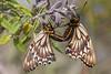 Mariposas Papilio (ik_kil) Tags: chile lepidoptera lacampana papilionidae parquenacionallacampana aristolochiaswallowtail sectorocoa battuspolydamasarchidamas mariposapapilio regióndevañparaíso