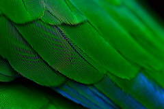 Crystalised (Lidia Camacho) Tags: blue macro verde green azul feathers parrot x sharp tight perfection tack cotorra hypnotizing plumas