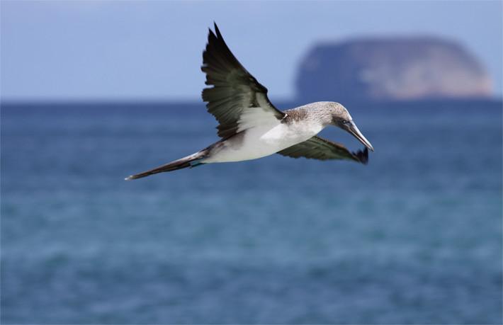 012311_bird_blueFootedBooby06_dive05