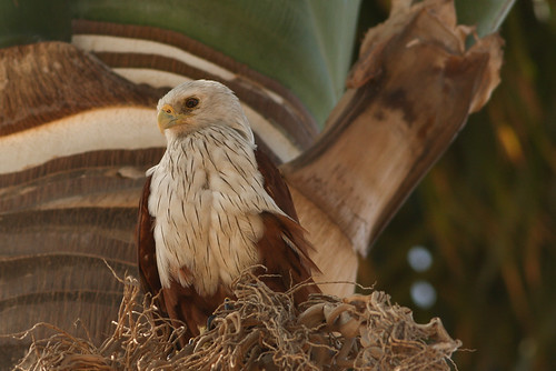 brahminy kite spotted at lalbagh..