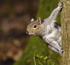 Squirrel (Danny Gibson) Tags: nature forest woodland grey squirrel wildlife sigma50500mm dgpixorguk