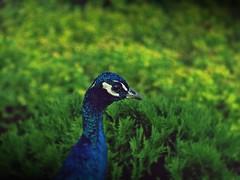 cacy (Czajuś) Tags: blue bird freedom paw eyes peacock beautifull płock czaj majestatic
