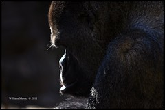 Take time to deliberate; but when the time for action arrives, stop thinking and go in. (southernhobbyist) Tags: light shadow wild nature animal mammal nikon gorilla wildlife thinking ape nikkor lowland western nature nikon amazing nikkor d5000 gorilla creations gods d5000 mygearandme mygearandmepremium mygearandmebronze mygearandmesilver mygearandmegold mygearandmeplatinum mygearandmediamond 50300mm
