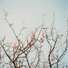(masaaki miyara) Tags: winter flower film japan composition kodak bokeh pale fourseasons yokohama analogue feb   planar  carlzeiss portra160nc 2 hasselblad500cm 2011         sweetsmell     japaneseplumblossom  seasonalairandlight