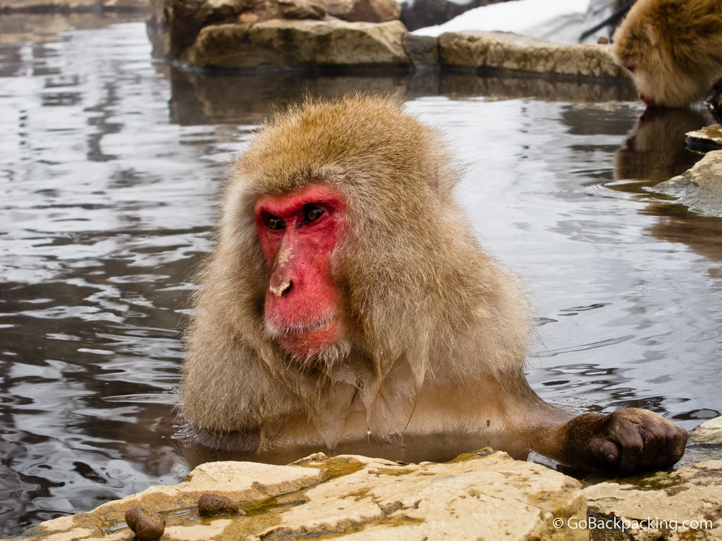 Snow monkey in Nagano