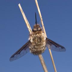 B5921^ (Reynard Muldrake) Tags: macro bug 50mm wings gnome nikon d70 tubes ali extension reverse enlarger bellows insetto reverselens soffietto enlarging tubidiprolunga