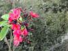 (Huda Fahad | هدى فهد) Tags: flower green garden الله سبحان ورد مزرعة فوشي