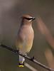 Cedar Waxwing (mbaglole) Tags: winter bird nikon flash birding sb600 300mm cedar nikkor dickson f4 waxwing cedarwaxwing teleconverter afs 14x d90 nikonsb600 fwr tc14 nikon300mm 14xteleconverter nikon300mmf4 nikond90 nikonteleconverter panoramafotográfico nikontc14 fwrdickson