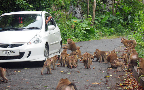 Monkeys at Monkey Hill, Phuket