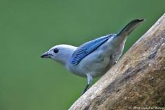 Blue-gray Tanager (Thraupis episcopus) (Jeluba) Tags: blue bird nature canon costarica wildlife aves ornithology birdwatching oiseau tanager tangara bluegraytanager thraupisepiscopus neotropical tangaravque bishofstangare
