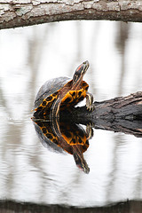 Turtle (Let there be light (A.J. McCullough)) Tags: texas turtle brazosbend