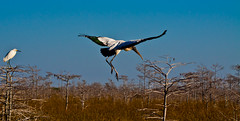 Soft Landing (Mi Bob) Tags: tree cypress evergladesnationalpark woodstork pahayokee