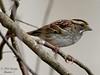 White-throated Sparrow - Bayou Courtableau, Louisiana (Image Hunter 1) Tags: tree nature birds louisiana branch bayou swamp perch perched marsh whitethroatedsparrow t2i birdslouisiana bayoucourtableau canont2i