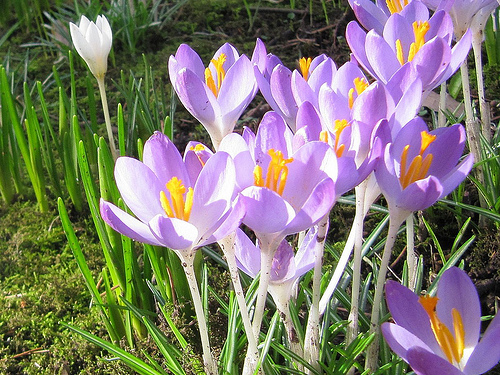 A group of crocuses