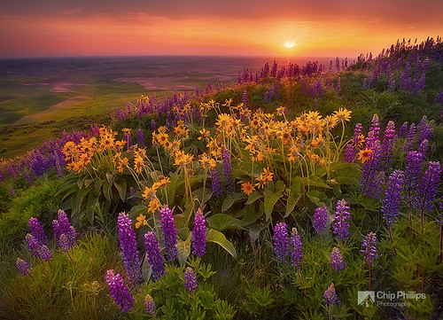 Field of Flowers, Palouse
