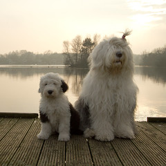Sophie and Sarah * explore * (dewollewei) Tags: old dog english puppy sweet expression sheepdog s bobtail oes oldenglishsheepdog sheepdogs oldenglishsheepdogs sweetexpressions platinumheartaward aboveandbeyondlevel1