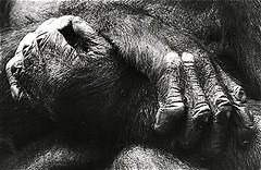 Hands (Guido Havelaar) Tags: blackandwhite bw monochrome monkey blackwhite hands zwartwit schwarzweiss pretoebranco animalplanet noirblanc  neroeblanco