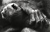 Hands (Guido Havelaar) Tags: blackandwhite bw monochrome monkey blackwhite hands zwartwit schwarzweiss pretoebranco animalplanet noirblanc 黑白色 neroeblanco ブラックホワイト чорныбелы