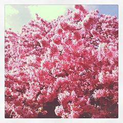 なにこの桜!こんもり!!