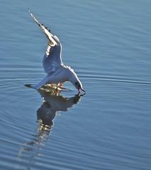 gull (Antonio clic) Tags: sardegna canon reflex sardinia natura uccelli volo lotta acqua gabbiani gabbiano uccello platamona stagno voli naturalista birdwtching