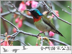 叉尾太陽鳥-02.jpg