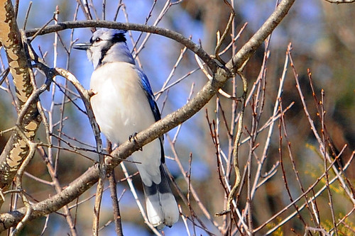 march backyard Blue Jay