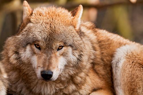 フリー写真素材, 動物, 哺乳類, イヌ科, 狼・オオカミ,