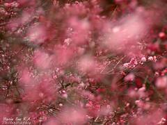 pink storm (Marie Eve K.A. (away..)) Tags: pink blur flower nature japan spring kyoto dof bokeh f14 85mm  plumtree plumblossom planar  carlzeiss  redplum kyotobotanicalgarden