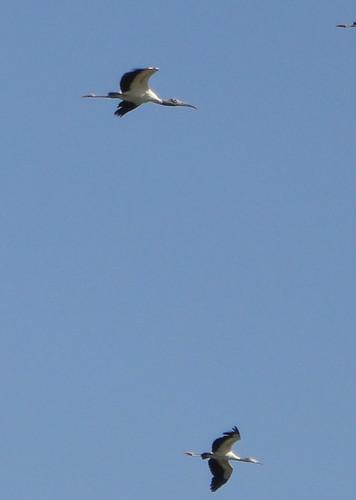 Palo Verde, cigüeñones en vuelo