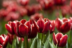 Red 'Lips - EXPLORE (Light Echoes) Tags: flower philadelphia nikon tulips explore bloom philadelphiaconventioncenter philadelphiaflowershow 2011 d90 dmk philadelphiainternationalflowershow