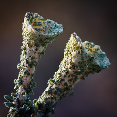 A little bit of red (Shutter Moments) Tags: macro lichen lav cladonia lavar parmeliaceae