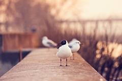 Sunset meeting I (Marc Benslahdine) Tags: paris animal couleurs seagull oeil bec oiseau mouette pattes lightroom canonef70200mmf4lusm canoneos50d portraitanimalier marcopix marcbenslahdine marcopixcom