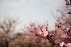 Plum Blossoms, Osaka Castle Gardens (HelenPalsson) Tags: japan osaka osakacastle plumblossoms 2011 201103 20110315