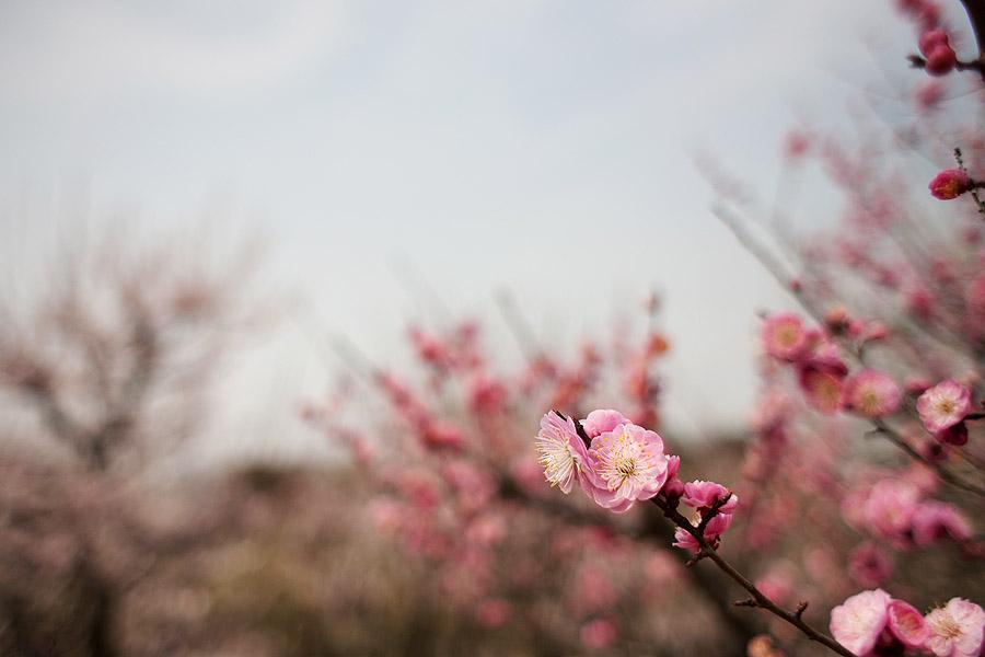 Plum Blossoms, Osaka Castle Gardens