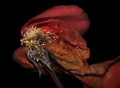 My last parade 80 x60 cm (thierry.ysebaert) Tags: red roses sunlight flower detail macro art nature rose closeup flora nikon erotic colours antique roos passion romantic antwerp rozen thierry afscheid erotique adieu macro105mm ysebaert thierryysebaert vervallenrozen3