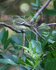 Yellow-bellied Flycatcher (Empidonax flaviventris) (sngcanary) Tags: bird texas migration portaransastx yellowbelliedflycatcher empidonaxflaviventris