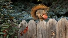 Peach Thief, a.k.a. the Dog Entertainer (y_egan) Tags: squirrel thief peach trees fence colorado yoshikoegan canoneos