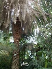 Palme (schremser) Tags: sterreich wien schnbrunn palmenhaus palmen palme
