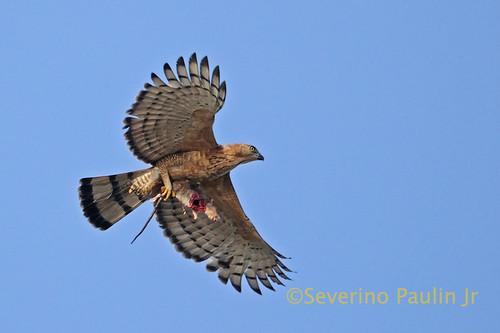 เหยี่ยวหงอนสีน้ำตาลท้องขาว Wallace's Hawk-eagle 5383449071_4d69993593