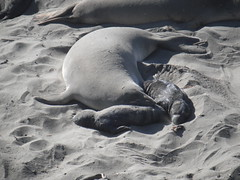 Elephant Seal pups (camera_shy) Tags: